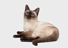 Young Thai cat on white background Stock Image