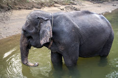 Young Thai elephant at the watering on the River Kwai Stock Photo