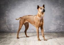 Dog. Young Thai Ridgeback dog on textured backgrond. Young Thai Ridgeback dog on textured backgrond stock photos