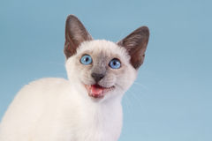 Young Thai Siamese on blue background. Young Thai Siamese in the studio Stock Image