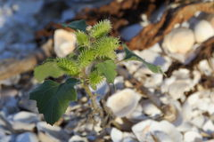 Young thistle Royalty Free Stock Images