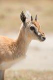 Young Thomson Gazelle Royalty Free Stock Image