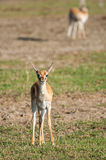 Young Thomson Gazelle Royalty Free Stock Photos