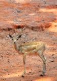 Young Thomson Gazelle Stock Photos