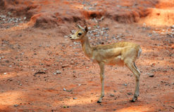 Young Thomson Gazelle Royalty Free Stock Photo