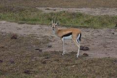 A young Thomson's gazelle Stock Photos
