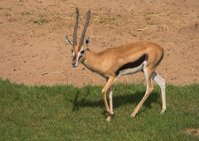 Young Thomson's gazelle Stock Image