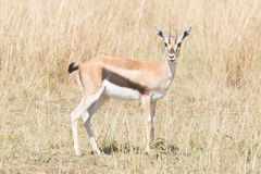 Young Thomson's gazelle stands staring at camera Royalty Free Stock Photo