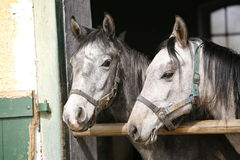 Young thoroughbred arabian horses  in the stable. Close-up of youngster arabian horses Stock Images
