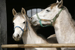 Young thoroughbred arabian horses  in the stable. Close-up of youngster arabian horses Royalty Free Stock Photography