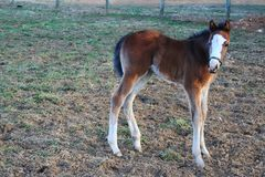 Young Thoroughbred filly greets a frosty morning. Her long, somewhat wobbly legs betray this filly`s youth, as she is one of the year`s newest arrivals on a Stock Images