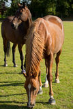 Young Thoroughbred Horse Grazing. A young thoroughbred horse grazing in a summer paddock Stock Images