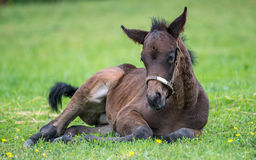 Young Thoroughbred horse resting in the grass Stock Image