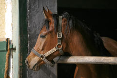 Young thoroughbred horse in the stable Royalty Free Stock Images