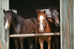 Young thoroughbred horses in the stable Stock Photos