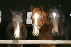 Young thoroughbred horses in the stable Stock Images