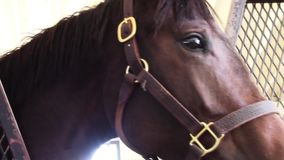Young thoroughbred race horse in barn stall stock video footage