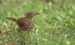 Young Thrasher bird. Young Brown Thrasher on the ground looking for food Royalty Free Stock Photo