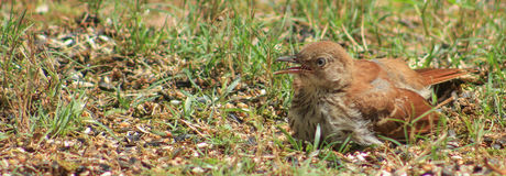 Young Thrasher. Sitting on the ground with his beak open Royalty Free Stock Photos