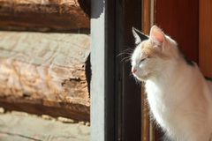Young three-colored cat in a doorway royalty free stock photography