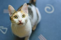 Young three-colored cat looking up curiously.Curious kitten. stock photo