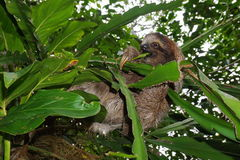 Young three-toed sloth eating leaf in the jungle Stock Photography