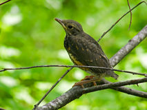 Young Thrush 4. A young thrush on branch of tree. Russian Far East, Primorye Stock Images