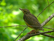 Young Thrush 5 Stock Image