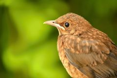 Young Thrush Royalty Free Stock Photography