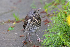 Young thrush Stock Photos