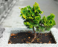 Young thuja occidentalis in a flower pot Stock Photo