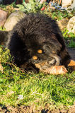 Young Tibetan Mastiff. The Tibetan Mastiff is one of the oldest working breeds of dogs that were guard dog in Tibetan monasteries, and helped the nomads in the Stock Photo