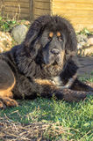 Young Tibetan Mastiff. The Tibetan Mastiff is one of the oldest working breeds of dogs that were guard dog in Tibetan monasteries, and helped the nomads in the Stock Image