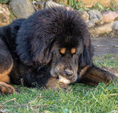 Young Tibetan Mastiff. The Tibetan Mastiff is one of the oldest working breeds of dogs that were guard dog in Tibetan monasteries, and helped the nomads in the Royalty Free Stock Photo