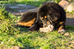 Young Tibetan Mastiff. The Tibetan Mastiff is one of the oldest working breeds of dogs that were guard dog in Tibetan monasteries, and helped the nomads in the Stock Photos