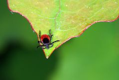 Young tick waiting for host. Young tick waiting for his host on the tip of a leaf stock images