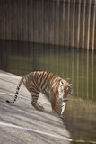 Young Tiger Stock Photography