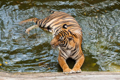 Young Tiger bathing Stock Image