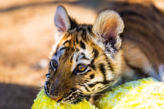 Young Tiger Cub 3. Male Tiger Cub basking in the morning sun on a cold winter day at the sanctuary Royalty Free Stock Photos