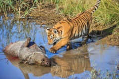 A young tiger going for his meal Stock Image