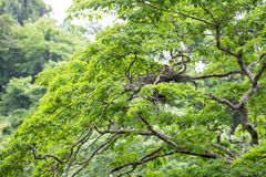 Young tiger heron in treetop nest Stock Photography