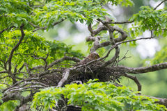 Young tiger heron in treetop nest Stock Image