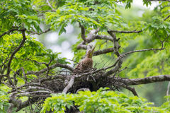 Young tiger heron in treetop nest Royalty Free Stock Image