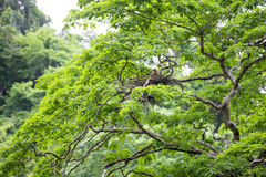 Young tiger heron in treetop nest Royalty Free Stock Photography