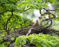 Young tiger heron in treetop nest Stock Photos
