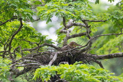 Young tiger heron in treetop nest Royalty Free Stock Photo