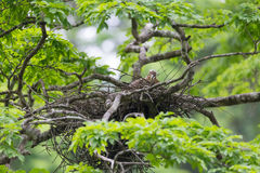 Young tiger heron in treetop nest Stock Photo
