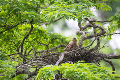 Young tiger heron in treetop nest Royalty Free Stock Photos
