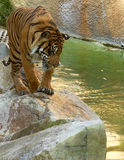 Young tiger looking at the water Stock Photo