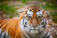 Young tiger (Panthera tigris altaica) is aggressively looking at the camera Stock Photography